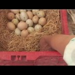 Chicken Supplies: Nest Boxes and Feeders