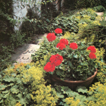 geraniums and alchemilla mollis